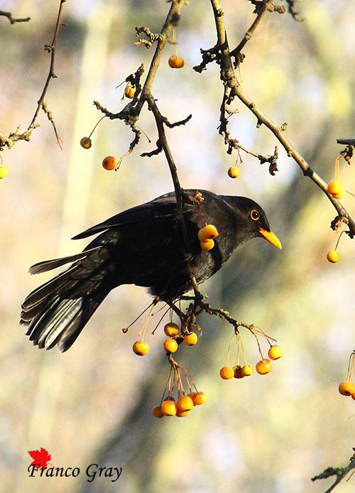 Merlo e frutti di un Malus ornamentale (Foto: Franco Gray) (Foto: Franco Gray)