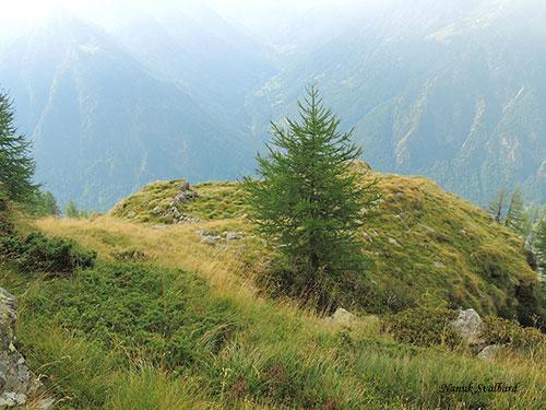 Larice, ambiente adatto alla nidificazione della Cincia dal ciuffo e della Cincia bigia alpestre