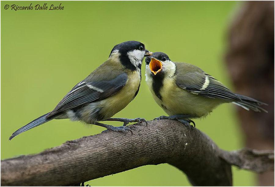 Imbeccata  di un nidiaceo quasi adulto (Foto: Riccardo Delle Luche)