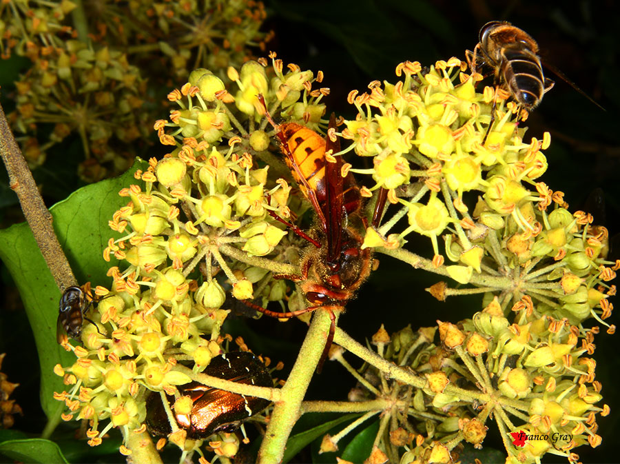 edera: ombrella in fiore con insetti (Foto: Franco Gray)