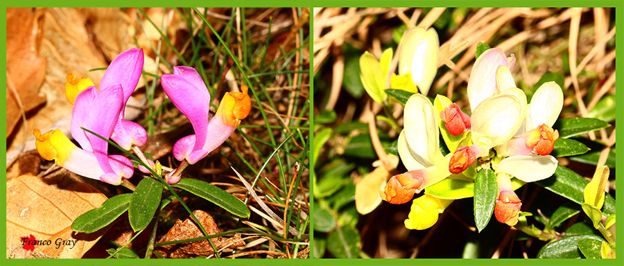 Polygala chamaebuxus - differenze nel colore