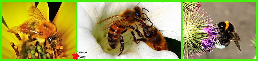 Bombi e api - Ai lati due specie di bombi, al centro trofallassi tra api (Foto: franco Gray)