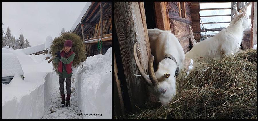 Fotocomposizione: fieno alle caprette.