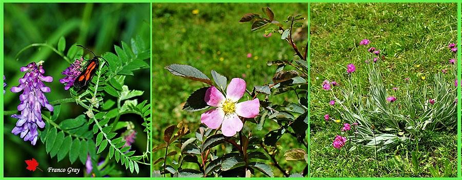 Nei prati e nei pascoli: veccia da foraggio per lo sfalcio e, nelle zone soggette al pascolo, la Rosa glauca e la crotonella