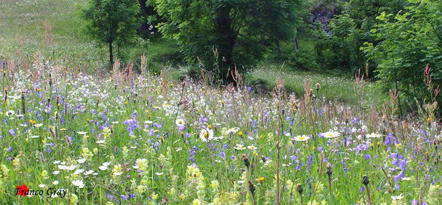 Prato di fiori prono per lo sfalcio - Val Vogna