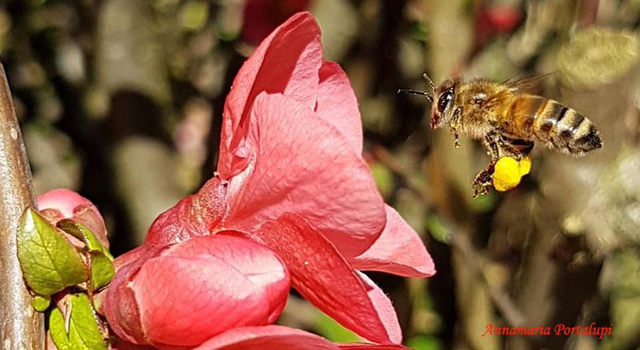 Ape in volo con le cestelle cariche di polline - Marzo, giardini (Foto: Annmaria Portalupi)