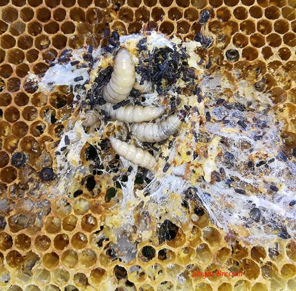Camola del miele in un alveare domestico (Foto: Sergio Bressan)