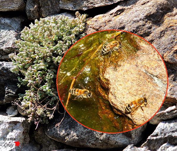 Api tra le pietre e le piante di un vecchio muro (Fotoc. Franco Gray)