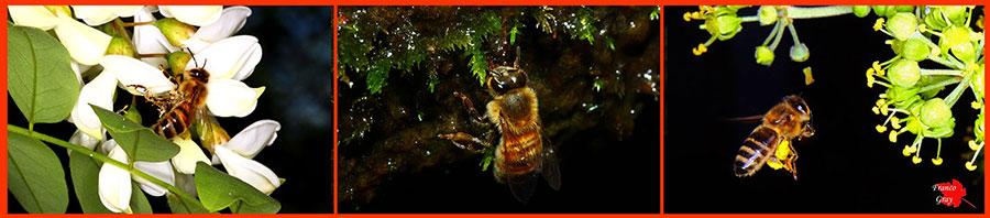 Fotocomposizione con api (Foto: Franco Gray)