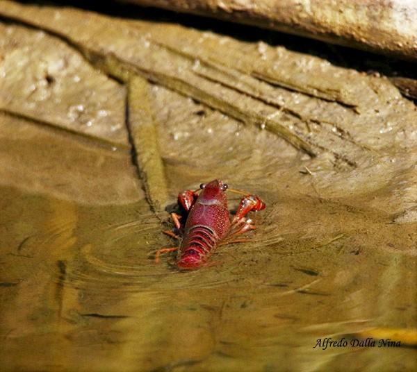Gambero della Louisiana (Foto: Alfredo Dalla Nina)