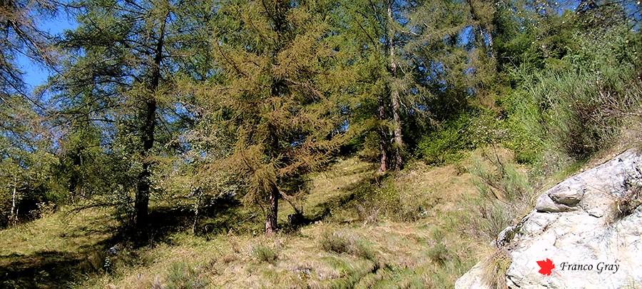 Settembre nel lariceto: si avvicina la stagione fredda e i larici  si preparano a perdere le foglie