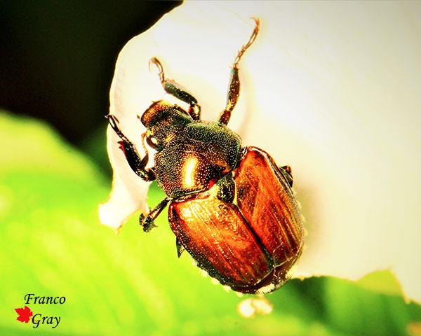 Popillia