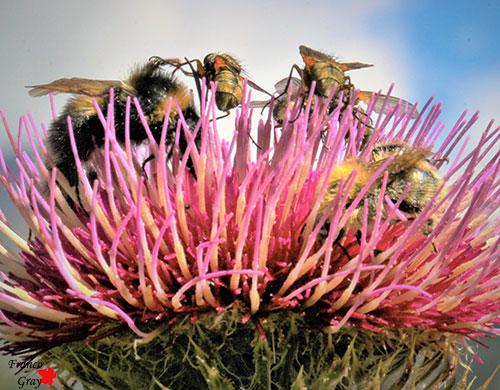 Affollamento di insetti sui  su di una capolino di cirsio lanoso
