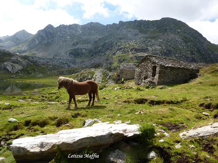 Alpe Maccagno, cavallo Aveglinese