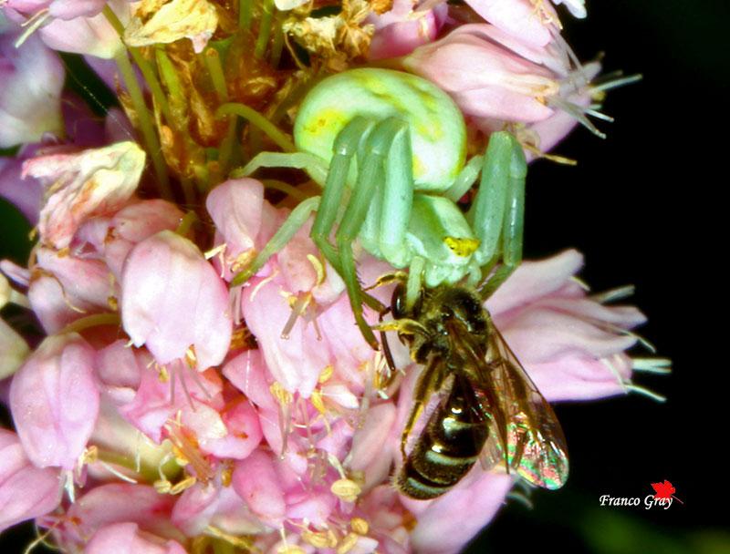Nel fiore della bistorta, una Misumena vatia con la preda (Foto: Franco Gray)
