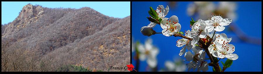 La Pietra Croana e i fiori del mirabolano. Inizi di primavera