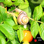 Cepaea hortensis - Una chiocciolina