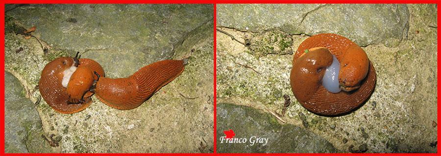 Limacce rosse: riproduzione -  (Foto: Franco Gray)