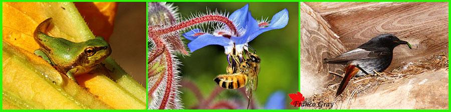 Orti: graditi ospiti. Nell'ordine: una raganella appena uscita dall'acqua, un'ape e un codirosso  (Foto: Franco Gray)