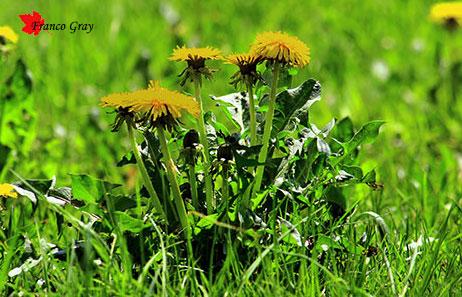 Tarassaco in fiore