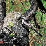 In un vigneto abbandonato, un codibugnolo che ritorna al nido (Foto: Franco Gray)