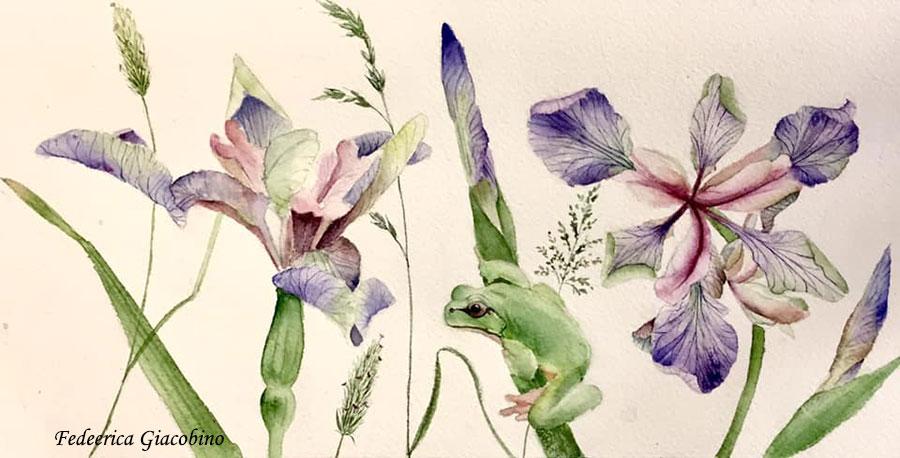 Iris e raganella (Disegno di Federica Giacobino)