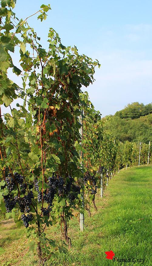 Filari con uva matura