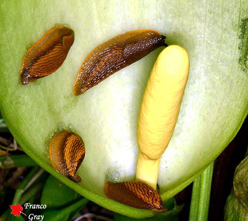 Limacce nel fiore di un Arum (Foto: Franco Gray)