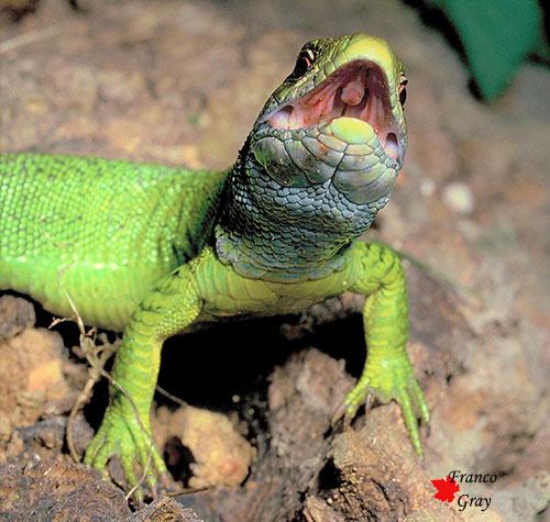 Ramarro in allarme: per intimorire il predatore mostra la bocca rossa di sangue (Foto: Franco Gray)