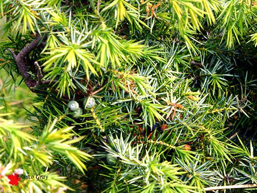 Ginepro, pianta femminile con bacche immature (Foto: Franco Gray)