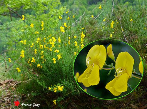 Ginestra in fiore, con dettagli dei fiori