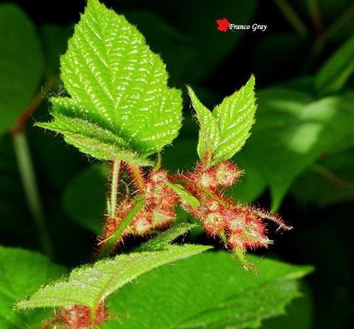 Mora del Giappone (Rubus phoeniculasiu) - Boccioli  (Franco Gray)