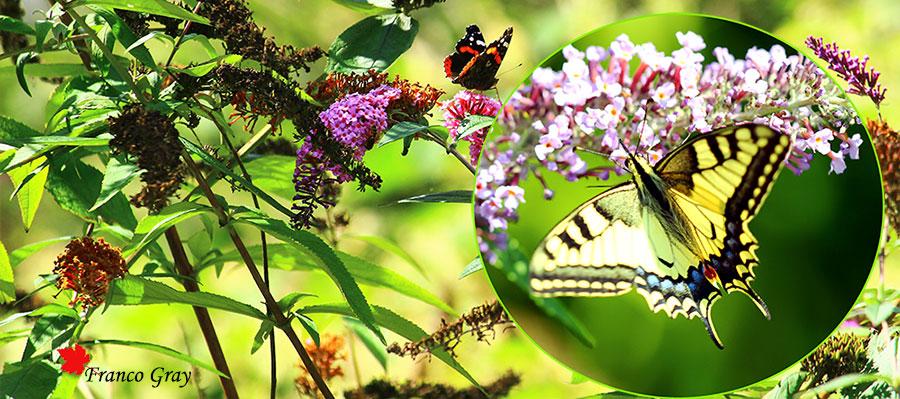 BuBuddleja e farfalle - Nell'inserto: Papilio machaon