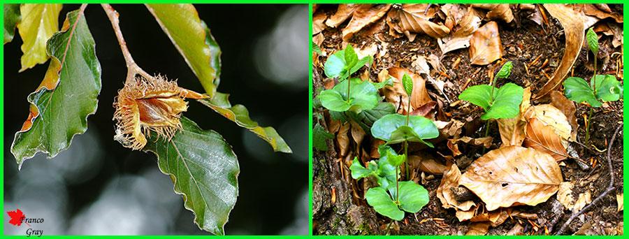Riproduzione del faggio. A settembre: faggiole mature. A maggio: nuove piantine di faggio (Foto: Franco Gray)
