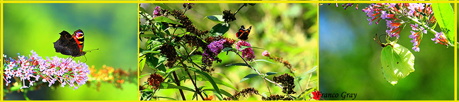 Buddleja davidii: la pianta delle farfalle (Foto: franco Gray)