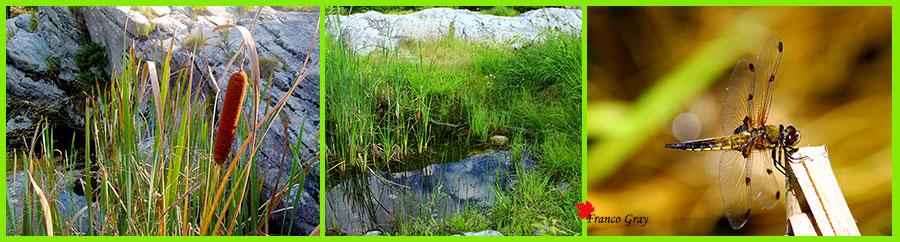 Pozze e dintorni: a sinistra  tife, al centro una pozza alimentata esclusivamente dall'acqua piovana, a destra una libellula