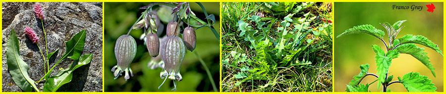 Piante commestibili: Bistorta, silene, tarassaco, ortica (Franco Gray)